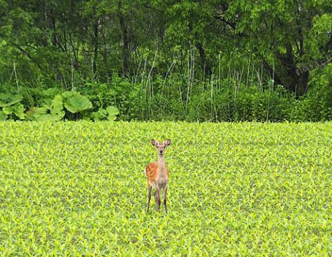 デントコーン畑に鹿、牧草畑に丹頂