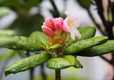 シャクナゲの花が咲く年