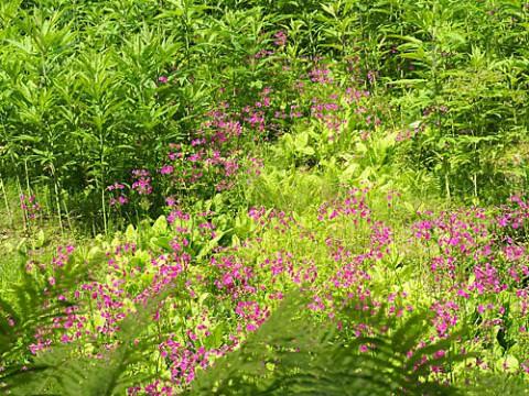 クリンソウ咲く山には熊の糞も