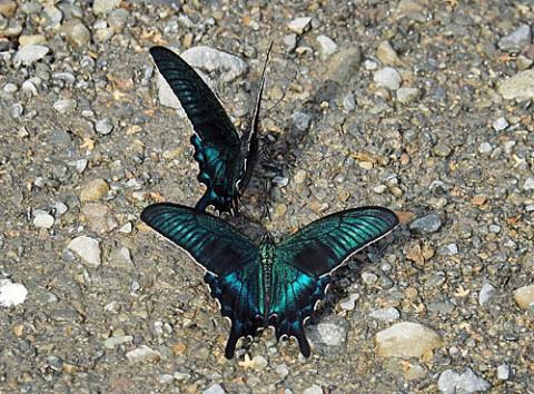 河原で飛び交う蝶