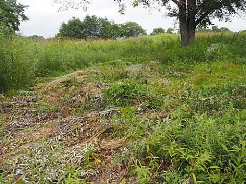 ハルニレの周りの草刈り