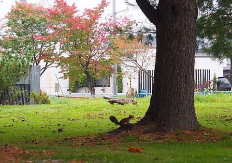 あずさ公園の紅葉とエゾリス