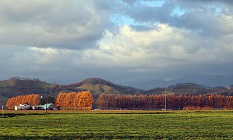 芽室町のカラマツ風景