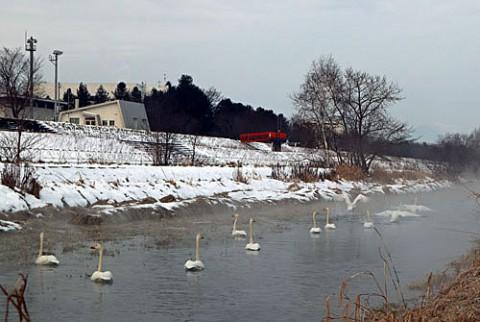 飛び立つ帯広川の白鳥