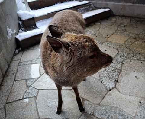 秘湯・菅野温泉のかんばん鹿