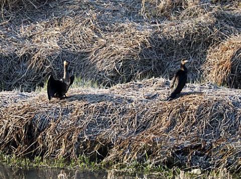 初めて見た野鳥は鵜