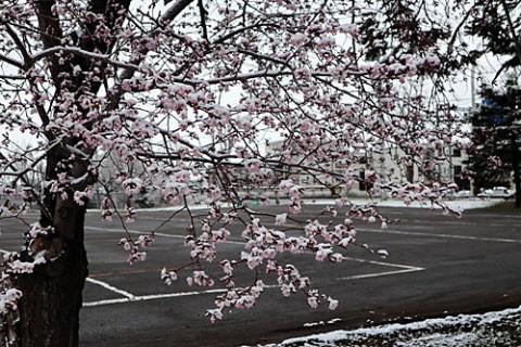 桜が咲いても雪が降る