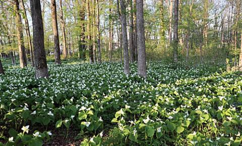 石王緑地のオオバナノエンレイソウ
