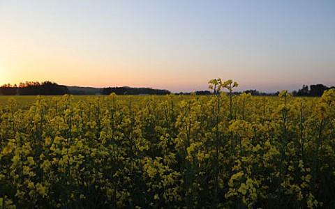 黄色い絨毯は菜の花