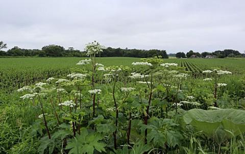 畑の脇で咲くシシウド