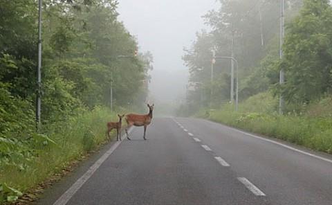 道路で出てきた鹿の親子