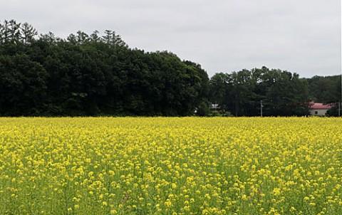夏の黄色はキガラシ畑