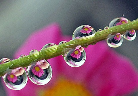 雫の中で咲くコスモス