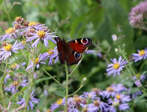 千年の森のクジャク蝶と野草