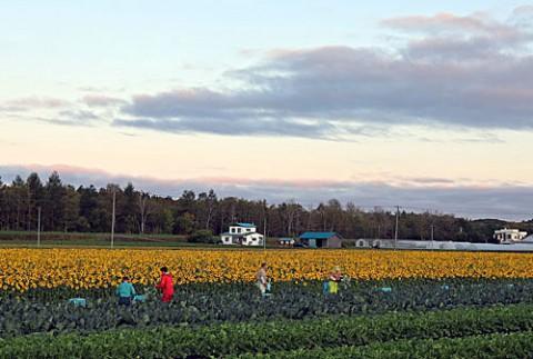ブロッコリー収穫とヒマワリ