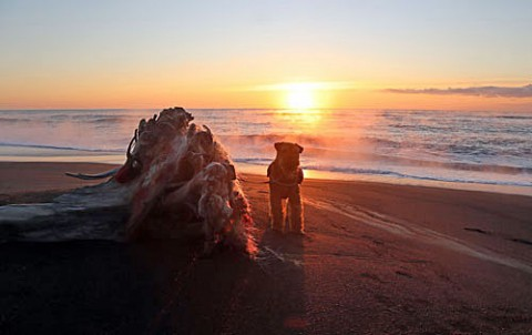 日の出時の海で散歩のエル