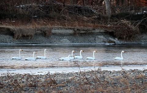 十勝川で夜明けの白鳥
