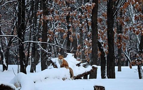雪中のキタキツネ