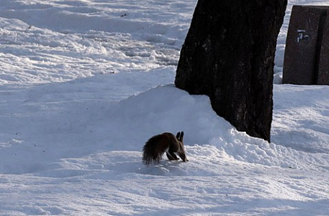 雪が深かった時のエゾリス