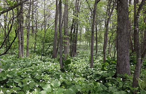 幕別町の林で咲くエンレイソウ