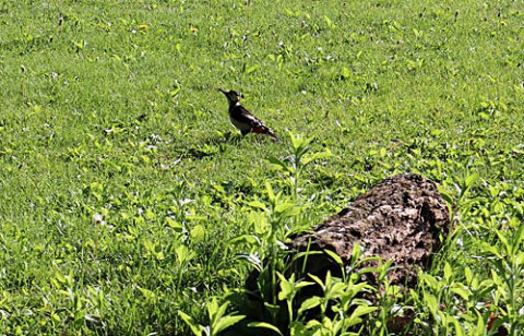 芝生に下りていたアカゲラ