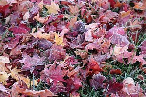 霜で縁どりされた落ち葉