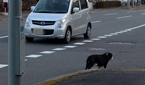 車道を歩き危険なワンちゃんを保護