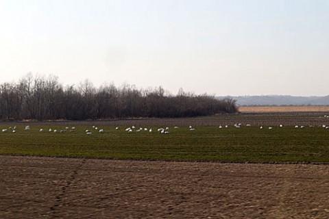 雪のない畑と十勝川の白鳥