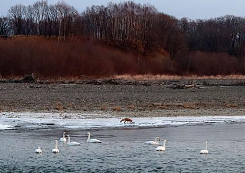 十勝川の白鳥とキタキツネ