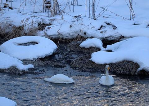 川の中で寝てる白鳥?