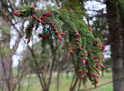 赤い花咲くエゾアカマツ