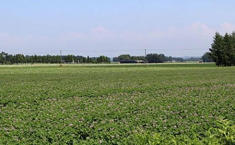 別府のジャガイモ畑