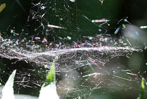 朝陽に染まる蜘蛛の糸