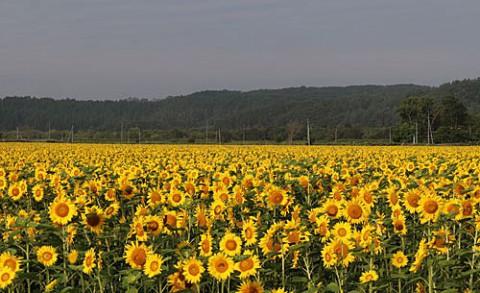 宏大なヒマワリ畑