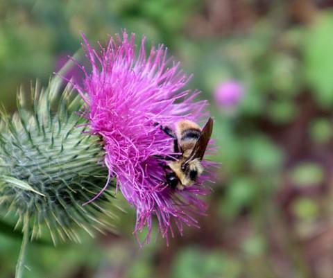 秋の花アザミに蜂