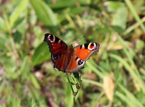 クジャク蝶他3種