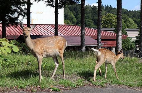 糠平温泉街に観光鹿?