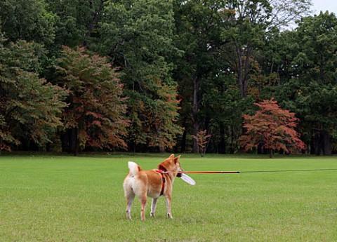 紅葉の公園でフリスビー