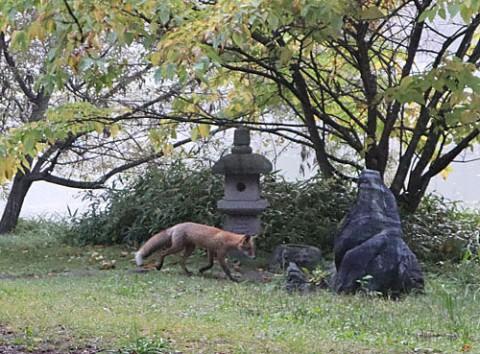 緑ヶ丘公園でキタキツネ