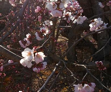桜、サクラ