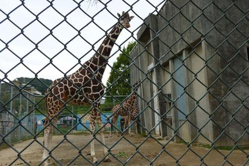 きりん娘 at 京都市動物園