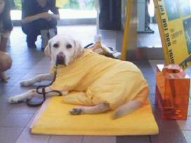 盲導犬のキャンペーン犬
