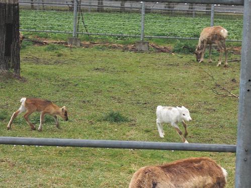 釧路市動物園 トナカイ赤ちゃん 6月23日
