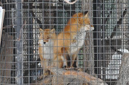 3月13日 旭山動物園のキタキツネ