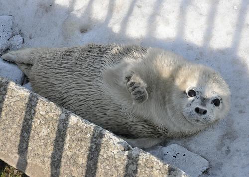 4月11日 おたる水族館 ゴマフアザラシの赤ちゃん3頭