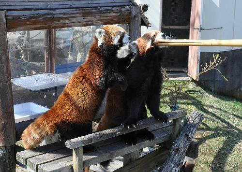 4月24日 釧路市動物園 レッサーパンダのパクパクタイム