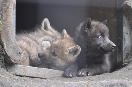 シンリンオオカミの円山っ子と旭山っ子