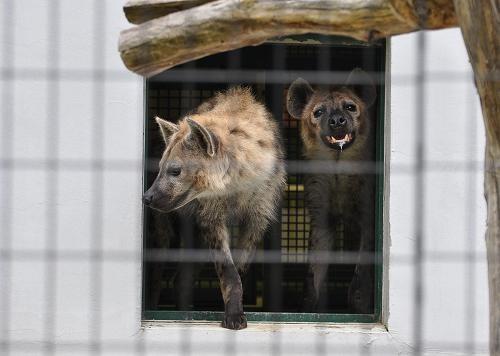 6月4日 円山動物園 ブチハイエナ