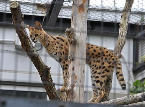 6月4日 円山動物園 ネコ科猛獣たち