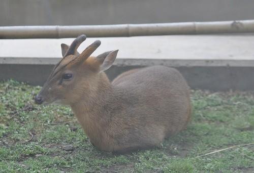 6月12日 旭山動物園 キョン一家